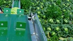 Seasonal Work in the Field - Harvesting Cabbage Stock Footage