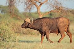 African buffalo in natural habitat Stock Photos
