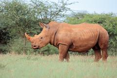 A white rhinoceros (Ceratotherium simum) in natural habitat, South Africa Stock Photos