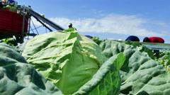 Seasonal Work in the Field - Harvesting Cabbage - stock footage