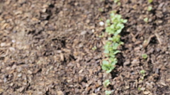 Organic vegetable community garden in early Summer. Stock Footage
