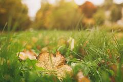 colorful leaves in the grass, fall season - stock photo