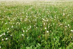 Endless dandelion field in sun light Stock Photos
