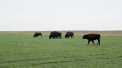 Several Bison Moving Across the Meadow Stock Footage