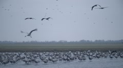 Huge Flock of Gray Stork Stands in Water of the River in a Field Over Which Stock Footage