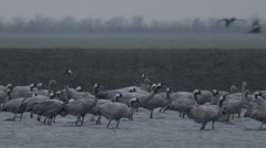 Large Flock of Gray Stork Stands in Water of the River Stock Footage