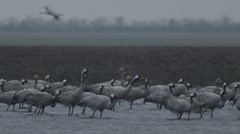 Large Flock of Gray Stork Standing in the Water of the River on the Background Stock Footage