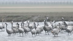Large Flock of Eurasian Cranes Standing in the Water of River in a Field Stock Footage