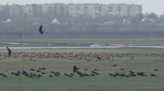 A Flock of Crows on Field Flies up Front of Another Group of Birds on Stock Footage