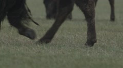 Group of Buffalo of Various Ages Move Along a Meadow in the National Reserve Stock Footage