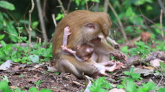 Baby monkey and mother. Stock Footage