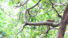 Monkey jumping on the tree. Stock Footage
