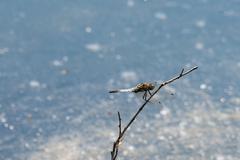 Dragon Fly, really big one - stock photo