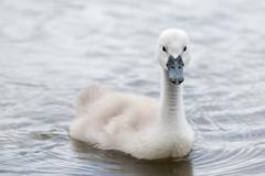 Cygnus Olor (white swan) in spring - stock photo