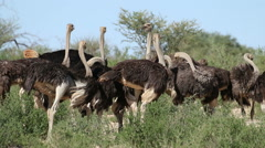 Ostriches in natural habitat - stock footage