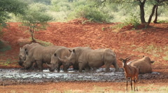 White rhinoceros drinking at a waterhole, African widllife safari, South Africa Stock Footage