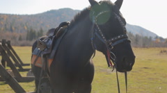 The horse is standing next to fence with complete harness made of leather and - stock footage