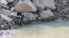 Red-wattled lapwing bird drinking water in the pond Stock Footage