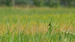 Small bird in the rice field Stock Footage
