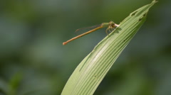 Dragonfly eating prey, Kolkata, West Bengal, India - stock footage Stock Footage