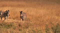Group of Zebras run towards cam.mp4 Stock Footage