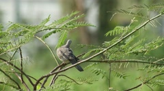 Spotted dove cleaning its wing on the tree Stock Footage