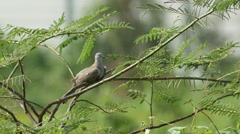 Spotted dove resting on the tree Stock Footage