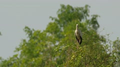 Asian openbills bird standing on the tree branch Stock Footage
