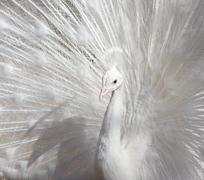 Portrait of the beautiful male white peacock with spread tail feathers - stock photo
