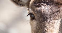 Eye deer in nature, close-up Stock Photos