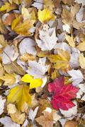 Red and yellow maple leaves on autumnal forest floor Stock Photos