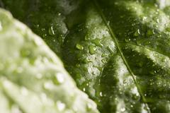 Nature detail. Green hibiscus leaf with water drops. - stock photo