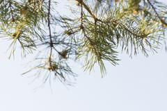 Pine tree in spring. Close up of nature detail. - stock photo