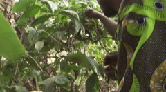 Cameroon, coffee beans harvesting by two locals Stock Footage