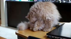 4k resolution of persian cat cleaning her body on table Stock Footage