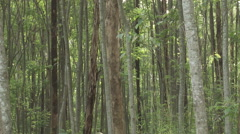 Cameroon Pottery, slow pan around eucalyptus forest Stock Footage