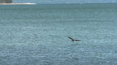 Bald Eagle In Flight With a Fsh - stock footage