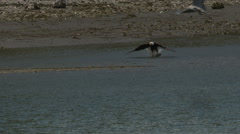 Bald Eagle In Flight With a Fish Stock Footage