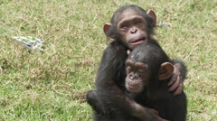 Cameroon, two chimp baby hug - stock footage