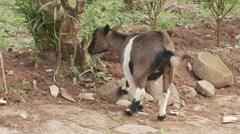 Cameroon, goat eating banana tree Stock Footage