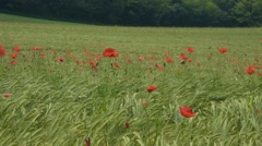 Poppies in a wheat field Stock Footage