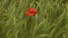Poppies in a wheat field - stock footage