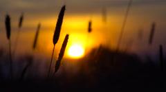 Field of ears on sunset Stock Footage