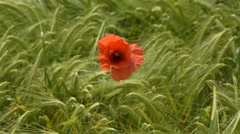 Poppy in a wheat field - stock footage