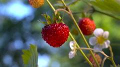 Bush of Strawberry .Fragaria vesca. Stock Footage