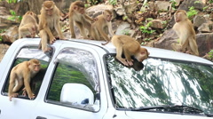 Monkey playing on the car roof. Stock Footage