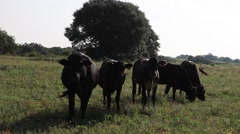 Black Cows in a field. Stock Footage