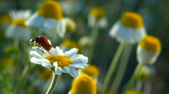 Ladybug flying up from camomile flower.Coccinella septempunctata. Stock Footage