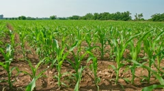 Corn field cultivation in the northdern Ialy Stock Footage