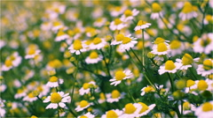 Chamomile on a sunny field Stock Footage